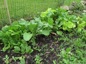 late spring salad, mixed greens growing
