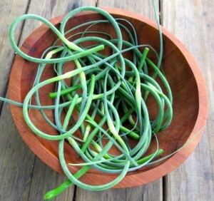Garlic scapes for garlic scape pesto