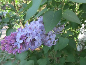 Lilacs for Charlotte