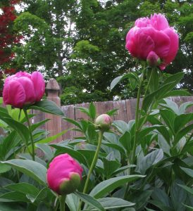 Peonies and each school year go so fast. Can we slow things down?
